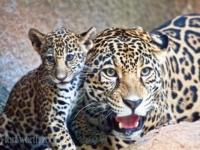 В зоопарке Форт-Уэрт подрастает детеныш ягуара