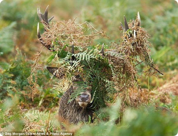 Благородные олени Ричмонд-парка