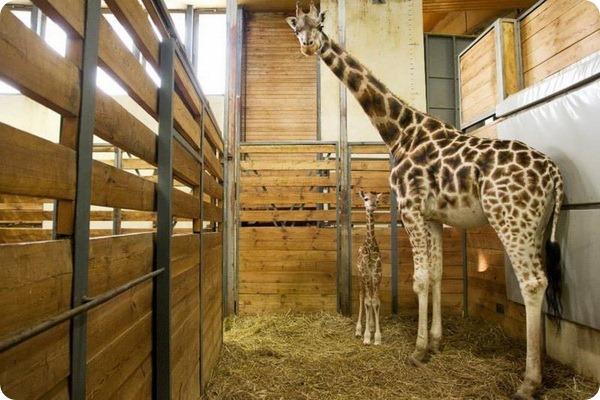 В зоопарке Праги родился 11-ый детеныш жирафа