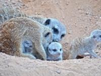 Детеныши суриката из биопарка Валенсии
