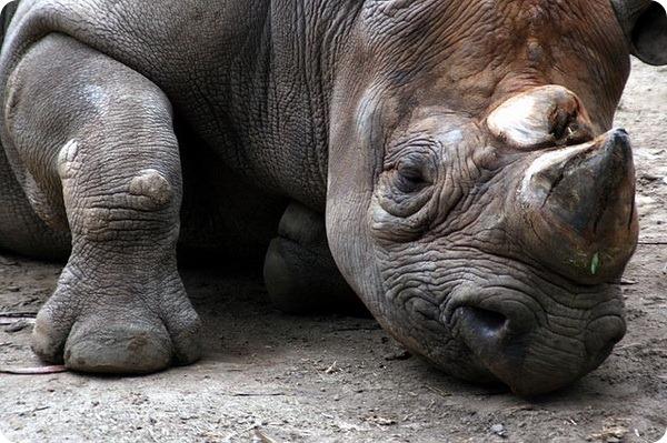 Черный носорог (лат. Diceros bicornis)