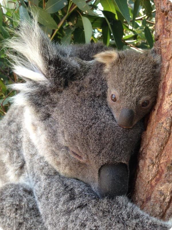 Новый детеныш коалы из зоопарка Таронга