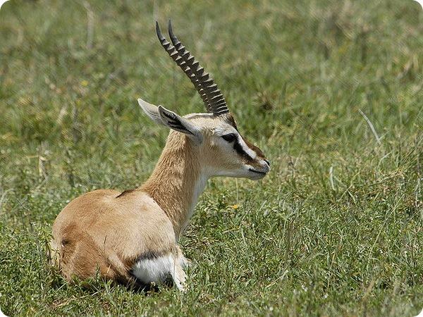 Газель Гранта (лат. Gazella granti)