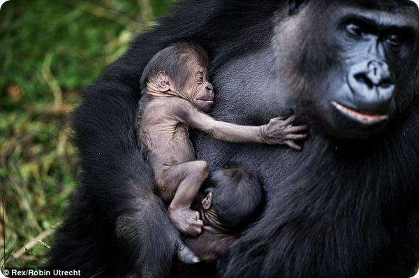 Самка гориллы N'Gayla и ее двойня