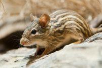 Африканские полосатые мыши из зоопарка Базеля