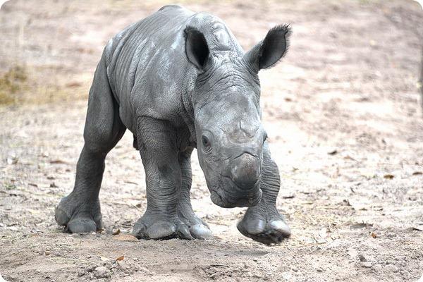 Зоопарк Тампы представил нового детеныша носорог