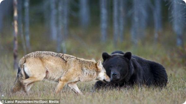 Необычная дружба между медведем и волчицей