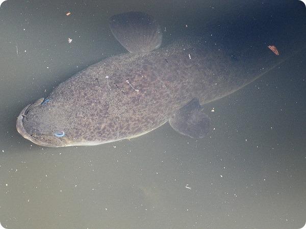 Новозеландский длинноплавниковый речной угорь (лат. Anguilla dieffenbachii)