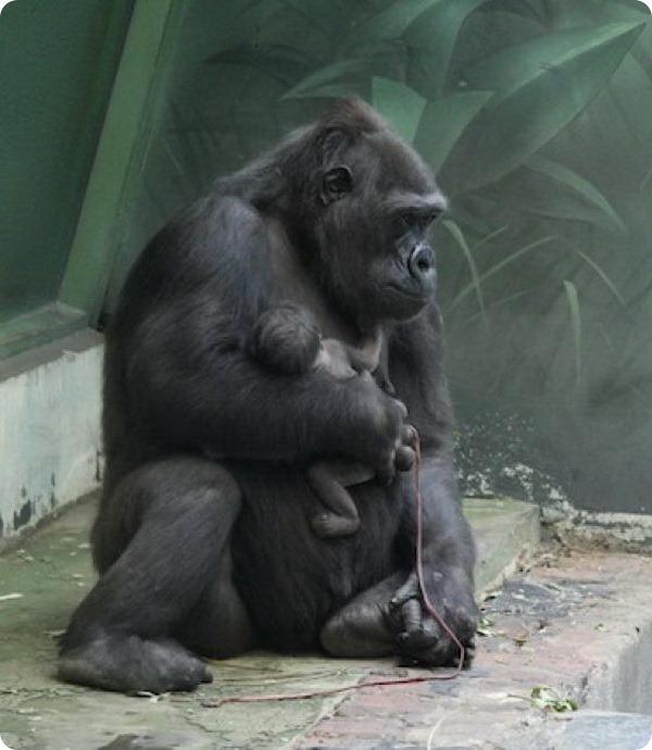 У самки гориллы из зоопарка Москвы родился детеныш
