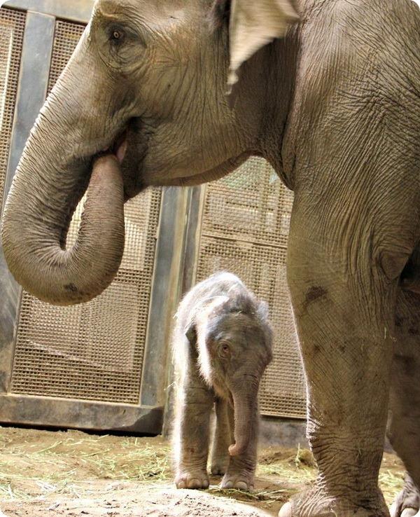 В зоопарке Альбукерке родился азиатский слоненок