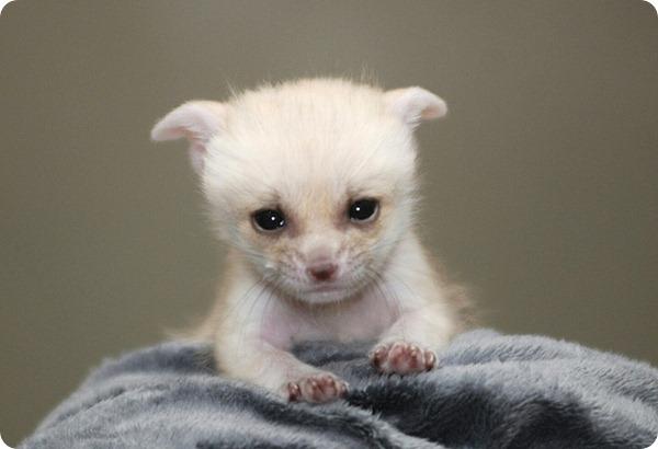 Фенеки из зоопарка Сеула