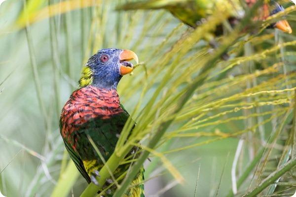 Радужные лорикеты из зоопарка Базеля