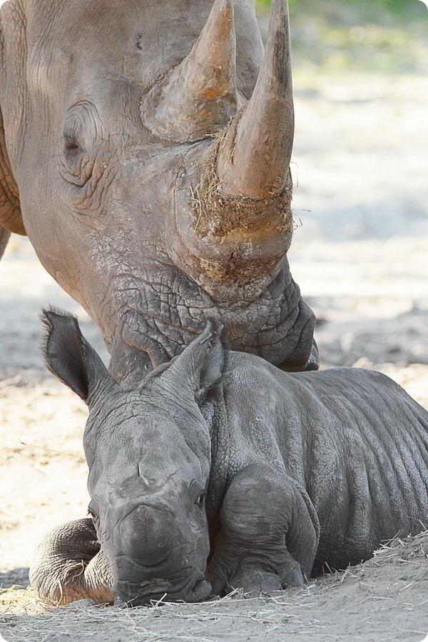 Зоопарк Тампы представил нового детеныша носорога