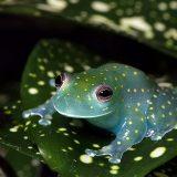 Бахромчатая стеклянная лягушка