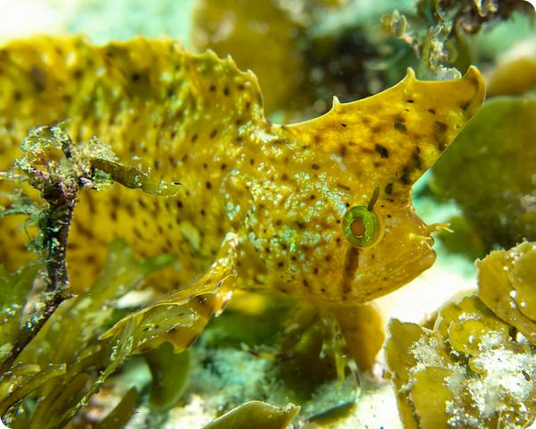 Золотистый кристицепс (лат. Cristiceps aurantiacus)