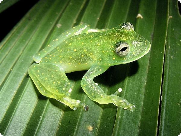 Бахромчатая стеклянная лягушка (лат.Cochranella euknemos)