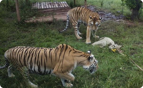 Перетягивание каната с тигром