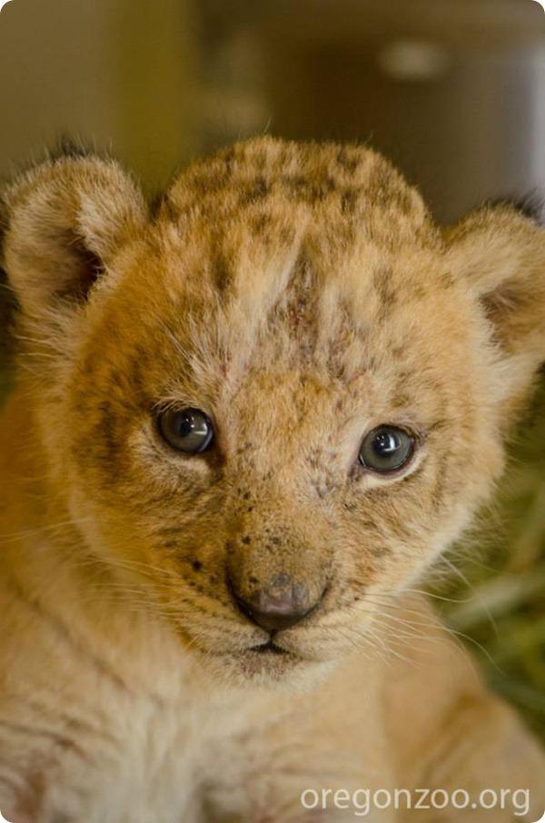 В зоопарке Орегона подрастают маленькие львята