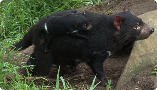 Спасение тасманийских дьяволов в Хилсвилл Сэнкчюари