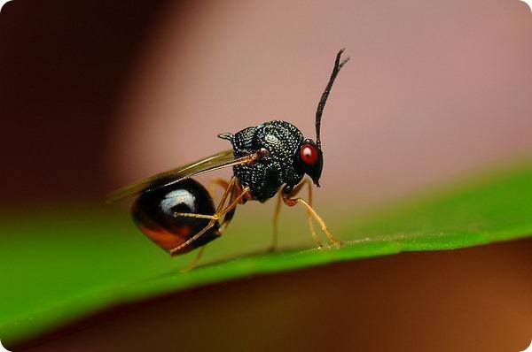 Осы-паразиты Eucharitidae