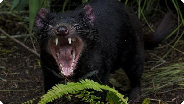 Сан-Диего принял первых тасманийских дьяволов
