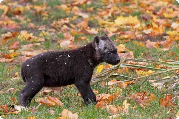 Детеныш гиены из зоопарка Берлина