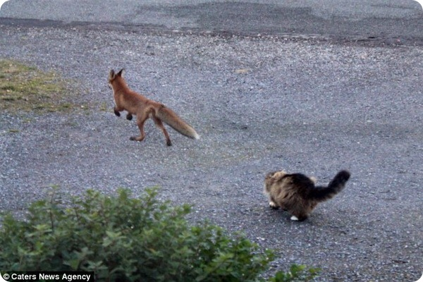 Отважный кот прогнал лису со своего двора