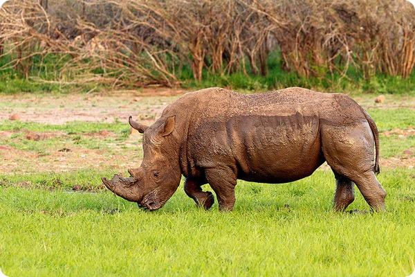 Белый носорог (лат. Ceratotherium simum)