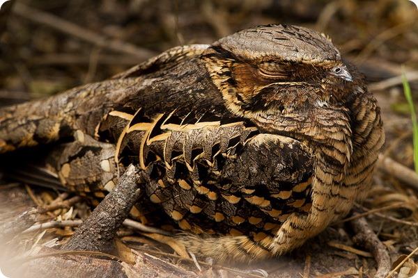 Козодой-пораке (лат. Nyctidromus albicollis)