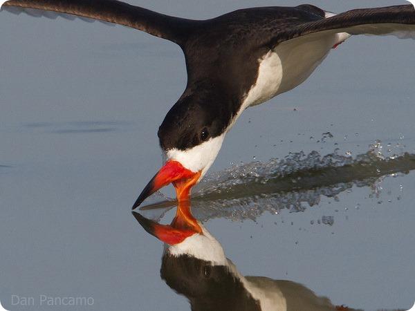 Черный водорез (лат. Rynchops niger)