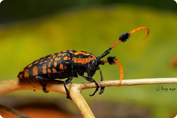 Жук-усач Approximator aristobia