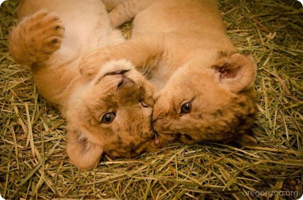 В зоопарке Орегона подрастают маленькие львят