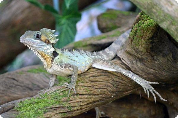 Австралийский лесной дракон (лат. Hypsilurus boydii)