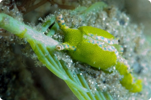 Морская брюхоногая улитка Oxynoe antillarum