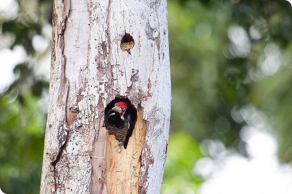 Черногорлый королевский дятел (лат. Campephilus melanoleucos)