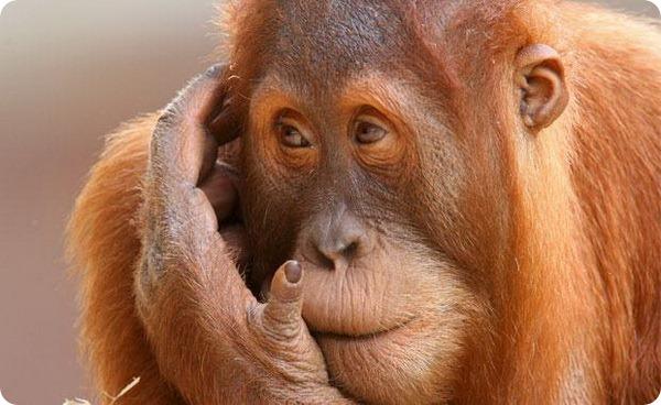 Орангутанги зоопарка Мельбурна