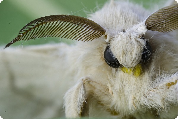 Тутовый шелкопряд (лат. Bombyx mori)