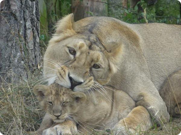 Азиатские львята из зоопарка Швеции
