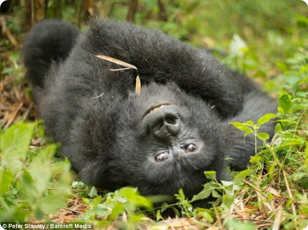 Общительный детеныш гориллы из парка Вирунга