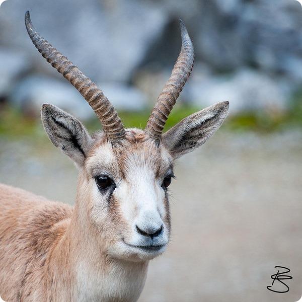 Джейран (лат. Gazella subgutturosa)
