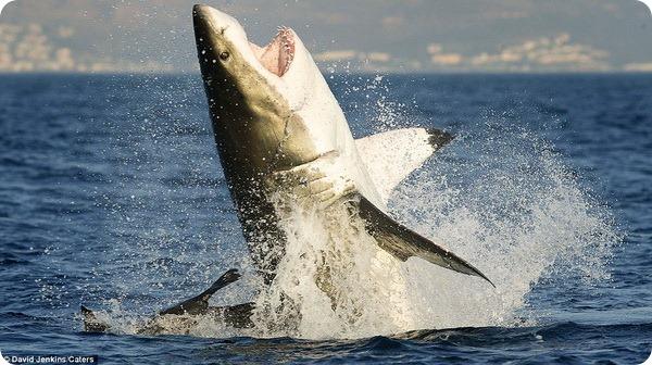 Морской котик избежал челюстей большой белой акулы