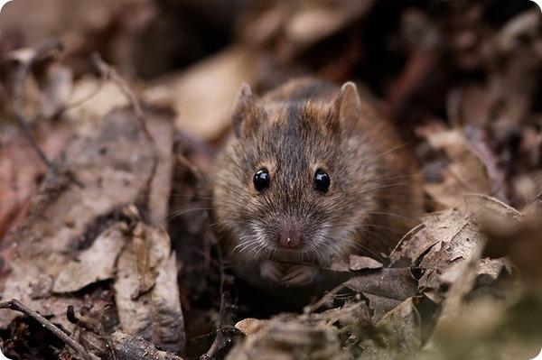 Полевая мышь (лат. Apodemus agrarius)