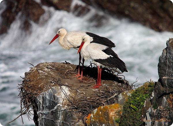Белый аист (лат. Ciconia ciconia)