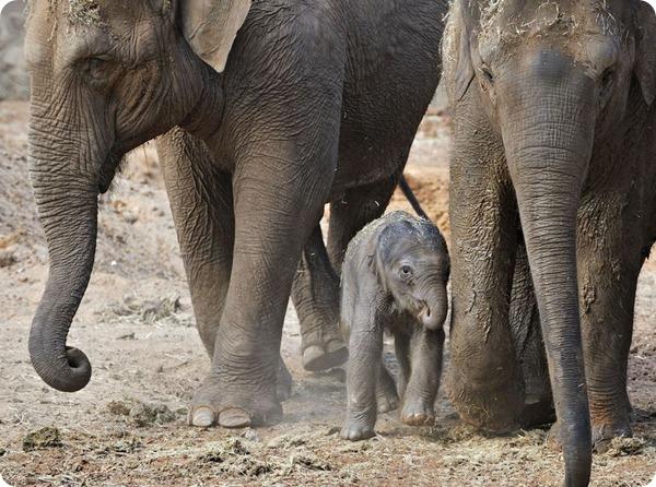 Азиатский слоненок из зоопарка Израиля