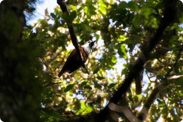 Трехусый звонарь (лат. Procnias tricarunculatus)