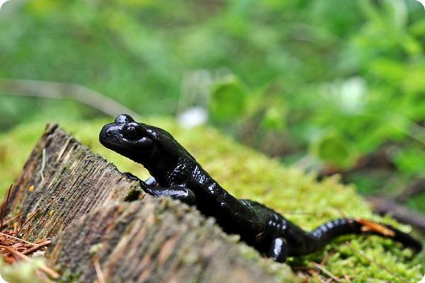 Альпийская саламандра (лат. Salamandra atra)