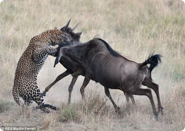 Антилопа Гну спасла своего детеныша от леопарда