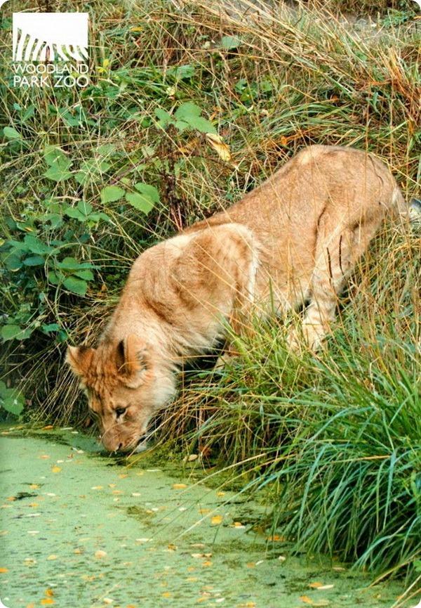 Львятам из зоопарка Woodland Park скоро годик!