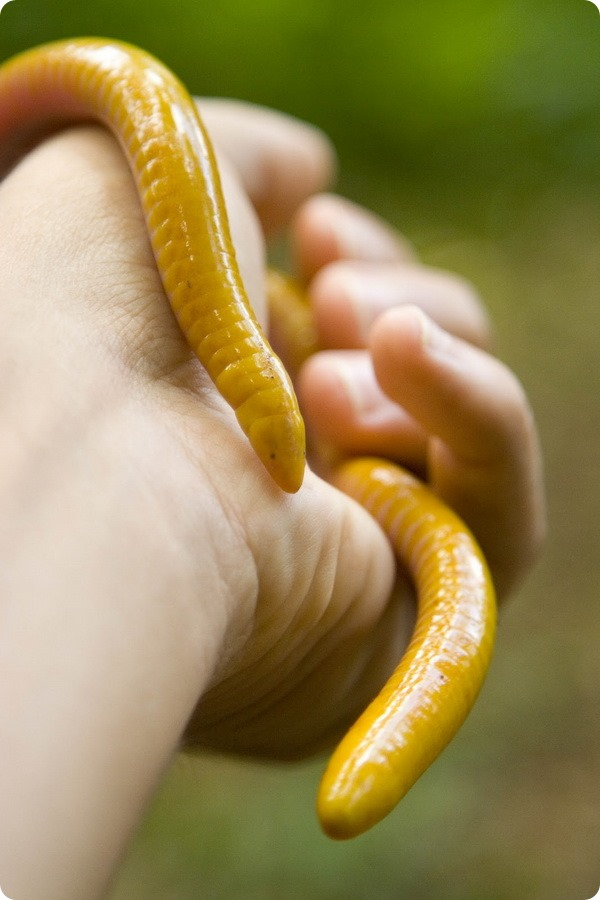 Ярко-желтая червяга (лат. Schistometopum thomense)