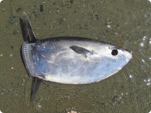 Овальная луна-рыба, или ранцания (лат. Ranzania laevis)